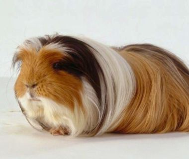 I m ISO A Baby OR Young Guinea Pig