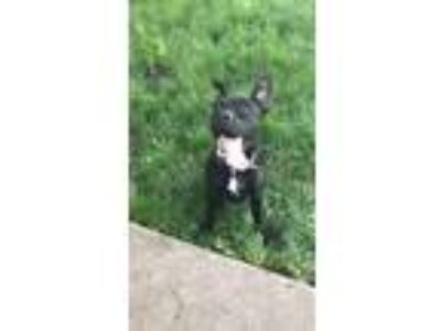 Adopt Sophie a Black - with White American Pit Bull Terrier / Mastiff dog in