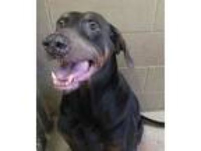 Adopt Duke a Black Doberman Pinscher / Mixed dog in West Memphis, AR (25524361)