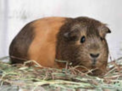 Adopt PEANUT a Brown or Chocolate Guinea Pig / Mixed small animal in Pasadena