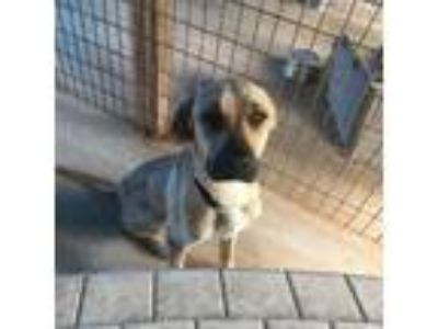 Adopt Sapphire a Tan/Yellow/Fawn Labrador Retriever dog in Starkville