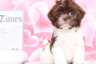 Shih Tzu PUPPY FOR SALE ADN-70528 - Faith Snuggly Female Shihtzu Puppy