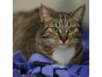 Adopt Liberty a Gray or Blue Domestic Longhair cat in North Hollywood