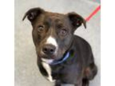 Adopt Malachi a Black American Pit Bull Terrier / Retriever (Unknown Type) /