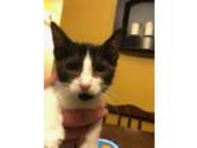 Adopt Lani a Domestic Short Hair, Tuxedo