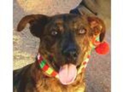 Adopt OPAL a Brindle - with White Catahoula Leopard Dog / Hound (Unknown Type) /