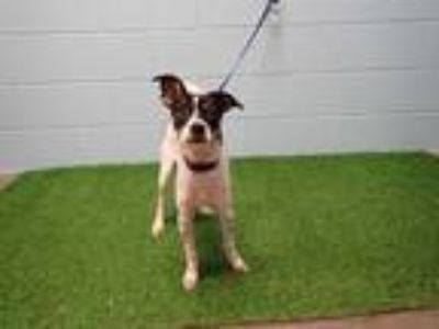 Adopt BRODY a White - with Black Rat Terrier / Mixed dog in St.