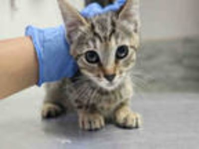 Adopt PIPI a Brown Tabby Domestic Shorthair / Mixed (short coat) cat in