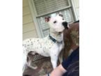 Adopt Harvey a White - with Black Dalmatian / American Pit Bull Terrier / Mixed