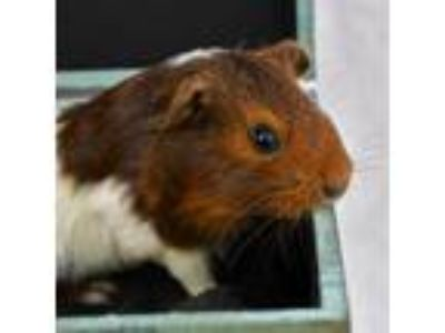 Adopt Charlie a Brown or Chocolate Guinea Pig / Mixed small animal in Largo