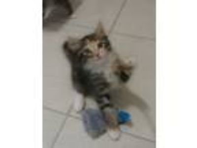 Adopt Stardust a Calico / Mixed (medium coat) cat in Ft Myers, FL (25580824)