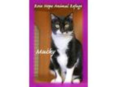 Adopt Mucky a Black & White or Tuxedo American Shorthair (medium coat) cat in
