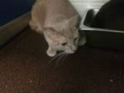 Adopt Oliver a Domestic Shorthair / Mixed cat in Burlington, KY (25308123)