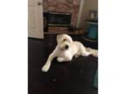 Adopt Digby a Bearded Collie, Spinone Italiano