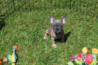French Bulldog PUPPY FOR SALE ADN-80712 - Figgy Blue fawn female