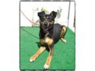 Adopt CRYSTAL a German Shepherd Dog