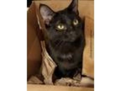 Adopt Ariel a All Black Domestic Shorthair / Mixed cat in Raleigh, NC (24775336)
