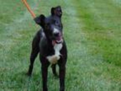Adopt TOMMY a Black - with White American Pit Bull Terrier / Mixed dog in