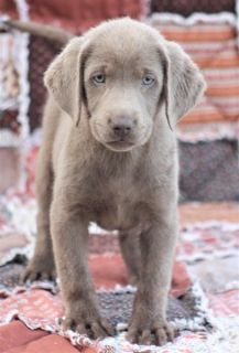 Labrador Retriever PUPPY FOR SALE ADN-93051 - Tandy