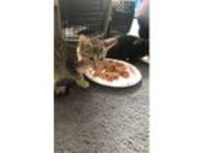 Adopt Bass a Brown Tabby American Shorthair (short coat) cat in Howell