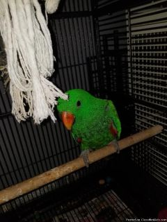 Male and female Solomon Island Eclectus Parrots.