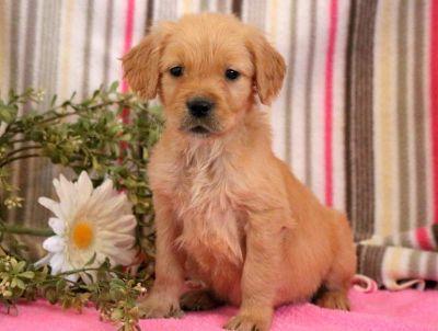 Golden Retriever PUPPY FOR SALE ADN-71276 - Golden Retriever Puppy for Sale