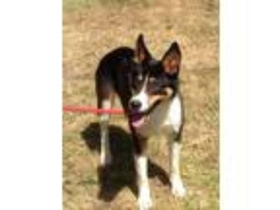 Adopt DINO a Tricolor (Tan/Brown & Black & White) Border Collie / Mixed dog in