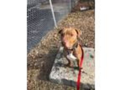 Adopt Beckham a Brown/Chocolate American Pit Bull Terrier / Mixed dog in West