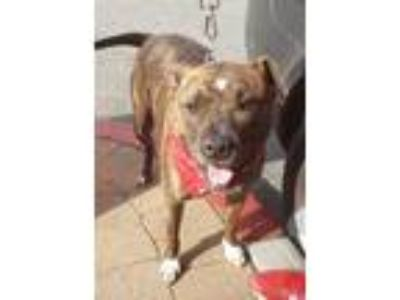 Adopt Risa a Brindle American Staffordshire Terrier / Mixed dog in Lake Forest