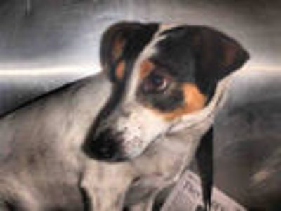 Adopt GUCCI a Tricolor (Tan/Brown & Black & White) Jack Russell Terrier / Mixed
