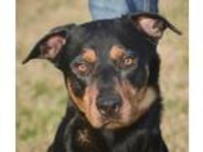 Adopt Drew a Black Mixed Breed (Large) / Mixed dog in Georgetown, TX (19840168)
