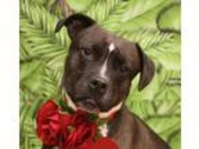 Adopt Ruffy a Brown/Chocolate - with White Pit Bull Terrier / Mixed dog in