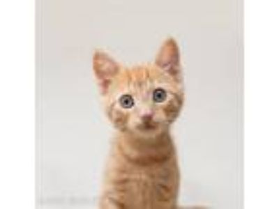 Adopt Caterpillar a Domestic Short Hair
