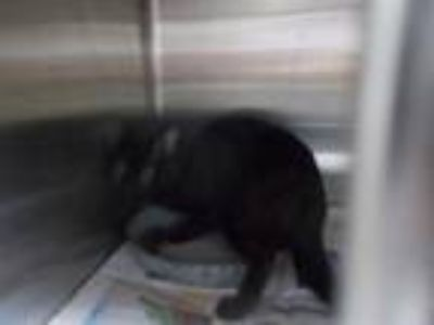 Adopt a All Black American Shorthair / Mixed (short coat) cat in Temple