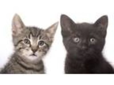 Adopt Tai and Theo a Tabby, Domestic Short Hair