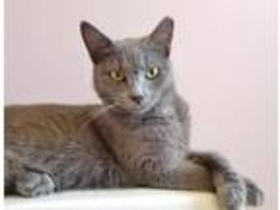 Adopt Ashley a Gray or Blue Russian Blue / Mixed (short coat) cat in Fort
