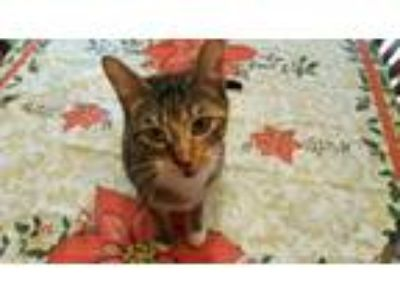 Adopt Frenchie a Domestic Short Hair, Torbie