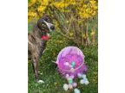 Adopt Penny a Brindle Hound (Unknown Type) / Mixed dog in Fredericksburg