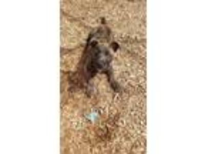 Adopt Snoopy a Brindle Airedale Terrier / Schnauzer (Standard) / Mixed dog in