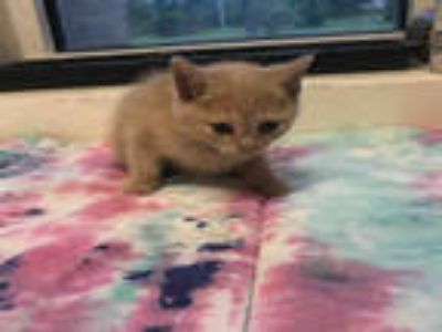 Adopt *TITO a Cream or Ivory Domestic Shorthair / Mixed (short coat) cat in