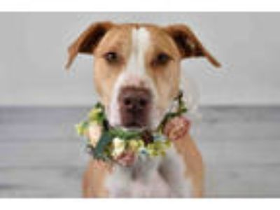 Adopt ROSIE a White - with Tan, Yellow or Fawn Labrador Retriever / Mixed dog in