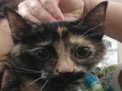 Adopt DORY a Domestic Short Hair