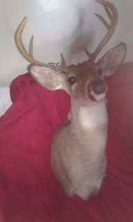 10 pointe whitetail deer shoulder mount beautifully don. I have two listed
