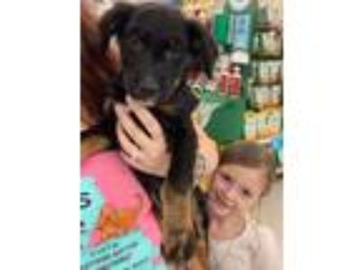 Adopt Mohawk a Black - with Tan, Yellow or Fawn Collie / Shepherd (Unknown Type)