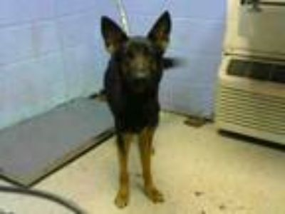Adopt JOLLY a German Shepherd Dog
