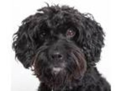 Adopt Drogon a Black Poodle (Miniature) / Spaniel (Unknown Type) / Mixed dog in