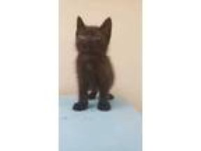 Adopt Maui a All Black Domestic Shorthair / Domestic Shorthair / Mixed cat in