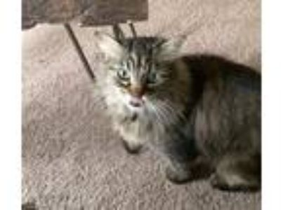 Adopt Wren a Domestic Long Hair