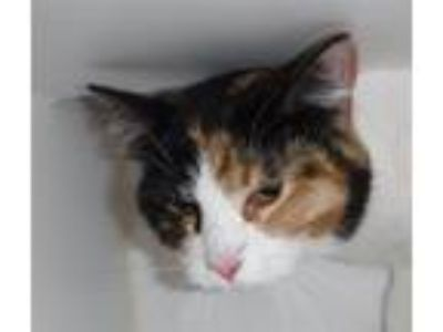 Adopt Patches a Domestic Shorthair / Mixed cat in Spokane Valley, WA (25357833)