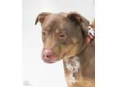 Adopt Barney a Brown/Chocolate - with White Hound (Unknown Type) / Mixed dog in